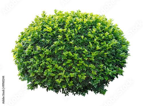 Photo  Ornamental tree