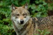 The gray wolf (canis lupus)
