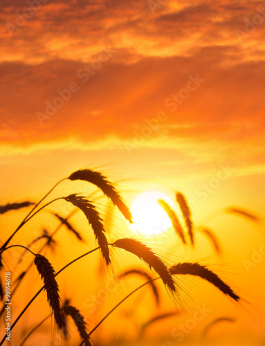 Foto op Canvas Geel Ripe ears of wheat against the backdrop of the sunset sky