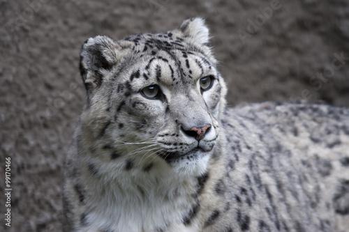 In de dag Panter Snow leopard on gray background