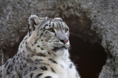 Half face portrait of a snow leopard