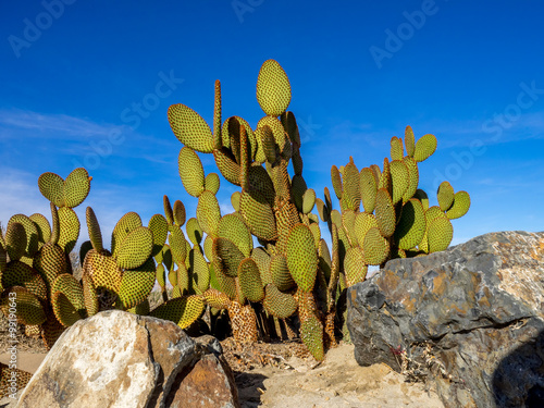 Papiers peints Cactus A variety of cactus which grows in the deserts of the southern United States and Mexico.