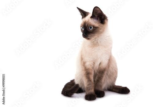 Carta da parati Siamese kitten