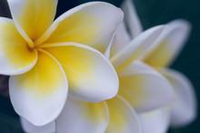 White Frangipani Tropical Flower, Plumeria Flower Blooming