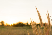 Foxtail Grasses At Sunset, Set...