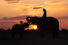 Silhouette Mahout And An Elephants On The Sunset