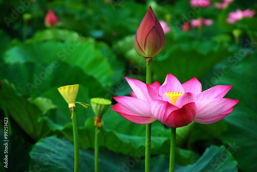 Foto op Canvas Lotusbloem Blooming lotus