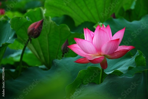Deurstickers Lotusbloem Blooming lotus