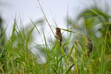 Passereau, Oiseau, Afrique