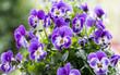 Leinwanddruck Bild - Hornveilchen (Viola cornuta)