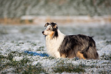 Rough Collie Dog Standing On A...