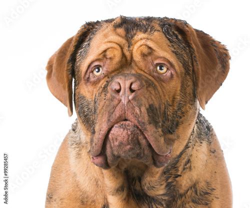 dirty dog Canvas Print