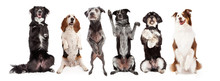 Six Dogs Standing Forward Toge...