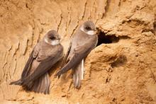 Sand Martin, Riparia Riparia, At Nest