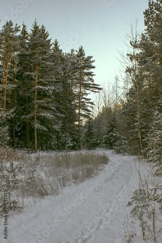 Papiers peints Foret brouillard Snowy pines illuminated by sunlight in winter