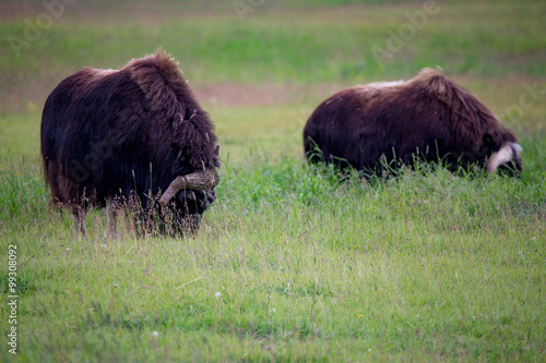 Fotografie, Obraz  musk ox in alaska pasture grazzing park eating