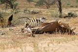 Fototapeta Zwierzęta - Martwa antylopa na Pustyni Kalahari