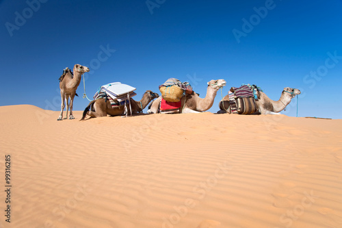 Spoed Foto op Canvas Tunesië Camels in the Sand dunes desert of Sahara, South Tunisia