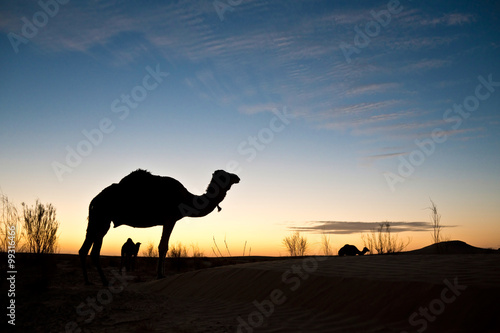 Poster Tunesië Silhouette of a camel at sunset in the desert of Sahara, South Tunisia