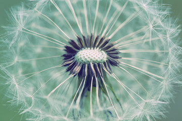 Fototapetaclose up of Dandelion with abstract color