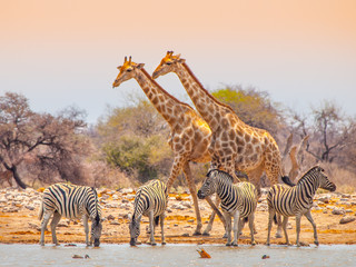 FototapetaGiraffes and zebras at waterhole