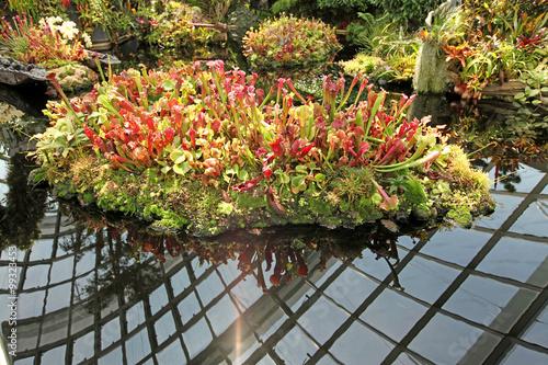 Fotografía  Island of Pitcher Plants