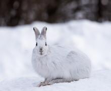 White Snowshoe Hare In Winter