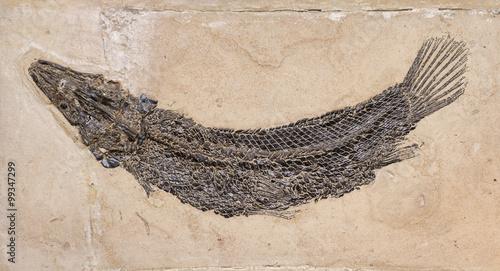 Fotografia  Fossil of a prehistoric fish.
