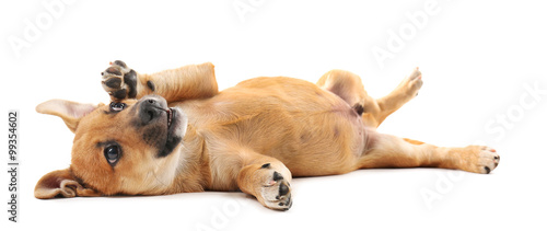 Poster Chien Puppy isolated on white