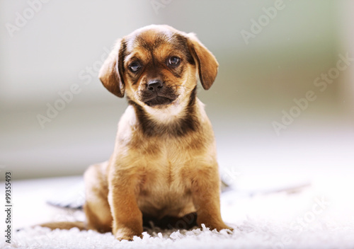 Photographie  Cute puppy on carpet at home