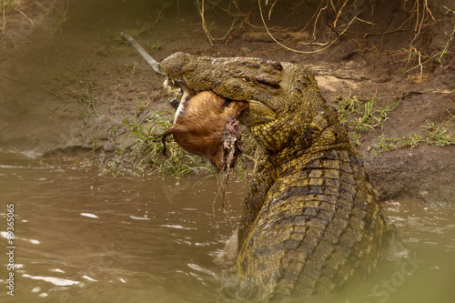Photo Stands Crocodile Krokodil mit Beute