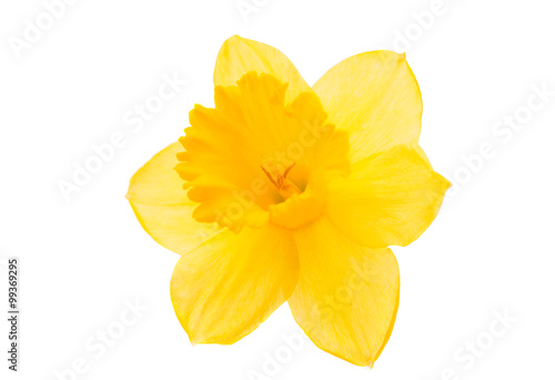 Deurstickers Narcis daffodil yellow flower