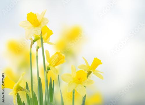 Spoed Foto op Canvas Narcis spring daffodils in garden
