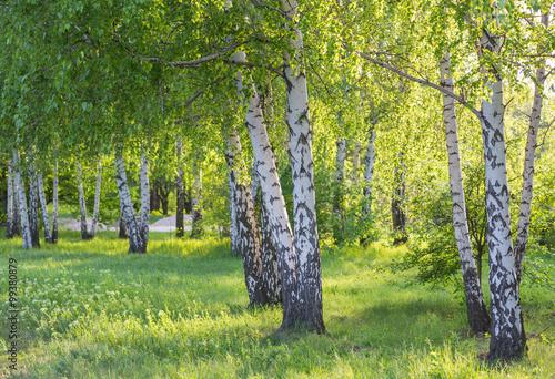 Cadres-photo bureau Bosquet de bouleaux birch forest in sunlight