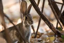 Wild Rabbit Hiding In Bush Pinnicles National Park