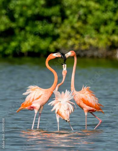 Photo Stands Flamingo Mating dance Caribbean flamingos ( Phoenicopterus ruber ruber )