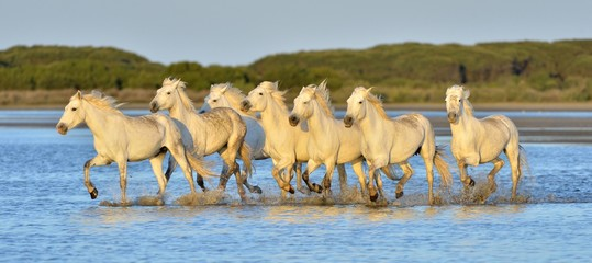 Herd of White Camargue Horses running on the water