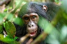 Close Up Portrait Of Old Chimp...