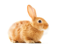 Isolated Image Of A Brown Bunny Rabbit