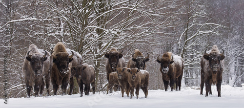 Bison family in winter day in the snow.