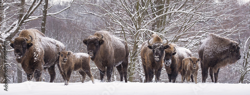 Photo Stands Bison Bisons family in winter day in the snow.