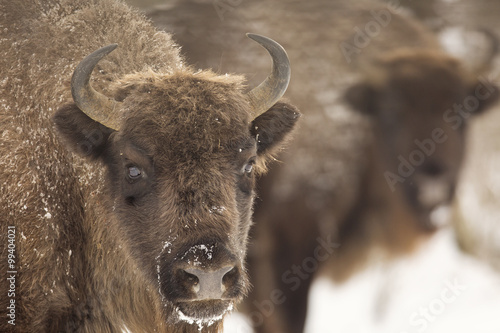 Bison winter day in the snow Canvas-taulu