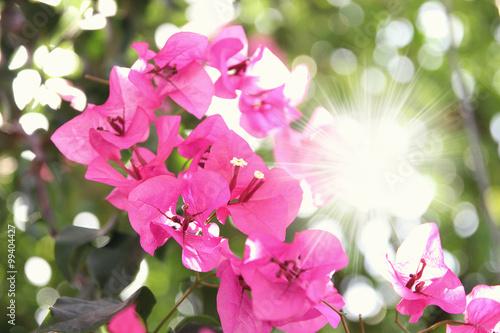 Stampa su Tela Purple bouganvilleas in a garden