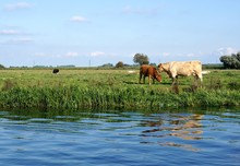 A Charolais Cow Mother Nuzzles Her Red Calf Beside A Riverbank In The Cambridgeshire Fens