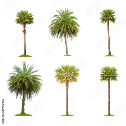 Six betel palm tree isolated on white