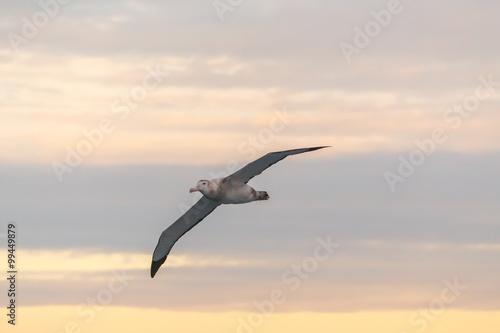 Fotografía  Wandering Albatross