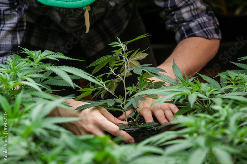 Photo  farmer working with his marijuana
