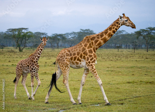 Vászonkép  Two giraffes in savanna