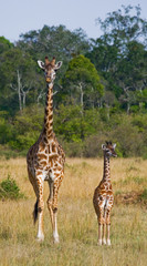 FototapetaFemale giraffe with a baby in the savannah. Kenya. Tanzania. East Africa. An excellent illustration.