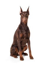 Doberman Isolated On A White B...